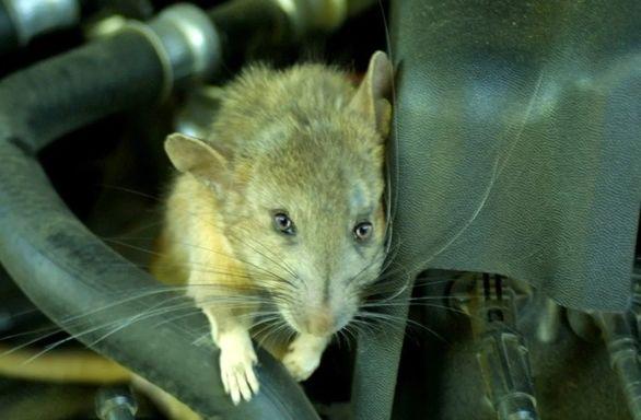دردسر تازه کرونا برای مالکان خودرو، ورود موش به محفظه موتور (عکس)